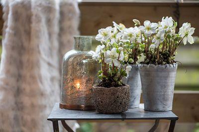 tuinplant-van-de-maand-december-kerstroos-helleborus_2_n.jpg