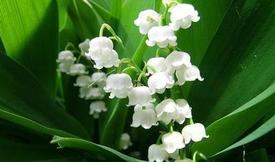 plant-bloem-muguet-170-400_03.jpg