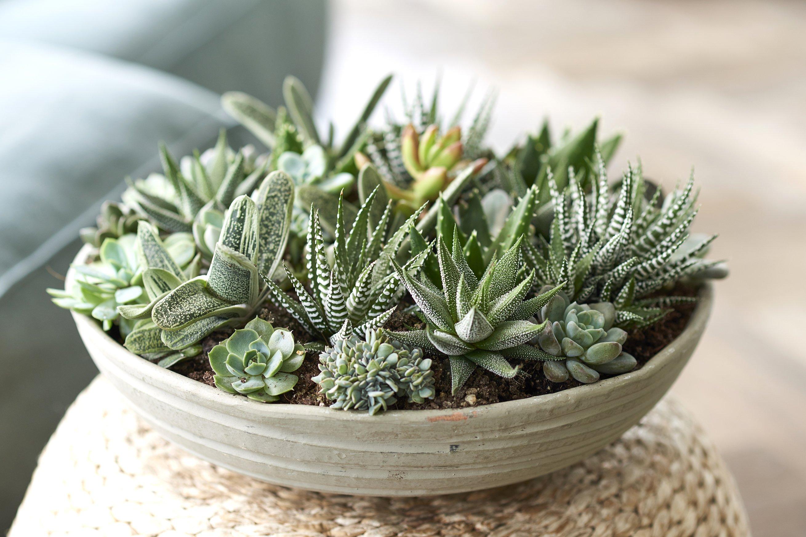 vetplant succulent